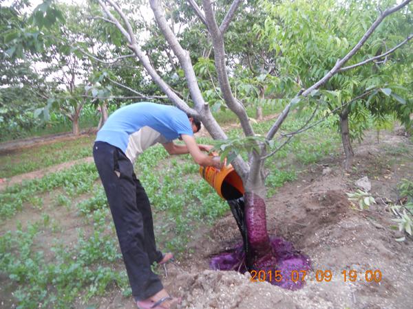 樱桃树根瘤菌治疗现场